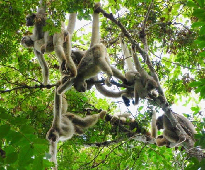 Monkeys are dying from yellow fever in Brazil