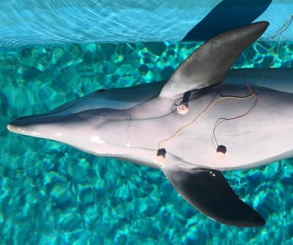 Dolphins slow their hearts down to avoid 'the bends,' study shows