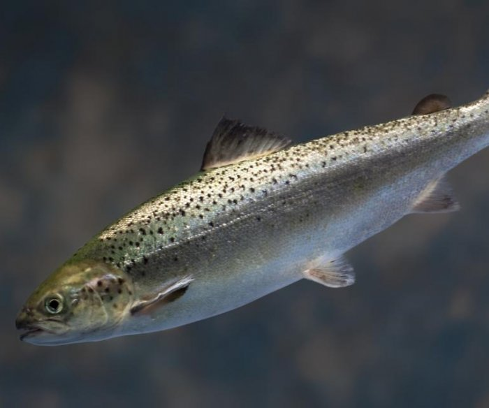 Genetically engineered salmon OK'd for human consumption in U.S.