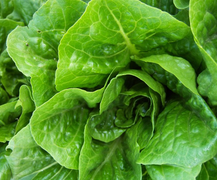 FDA traces romaine E. coli outbreak to California farm