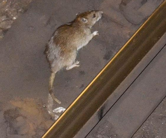 'Aggressive' rats on rise after restaurant shutdowns, CDC says