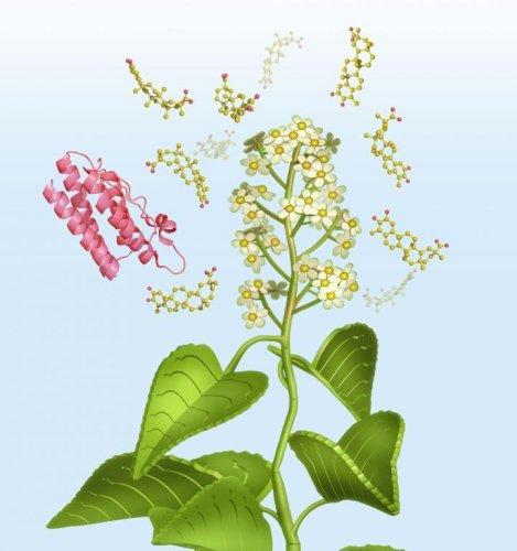 'Thunder god vine' may hold key to effective obesity drug