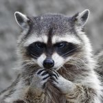 Camp Pendleton raccoon, drunk sailor story too good to be true