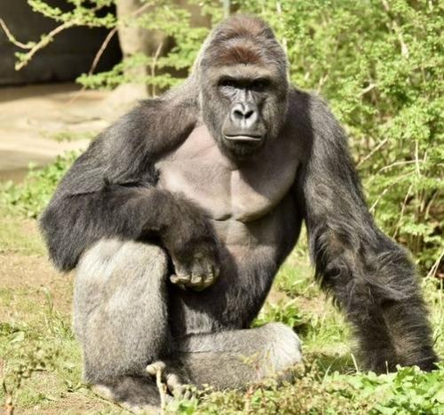 Cincinnati Zoo gorilla shot dead after dragging child who fell into exhibit