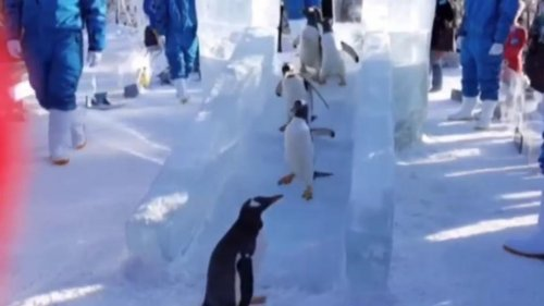 Penguins-play-on-slide-carved-from-ice-at-Chinese-theme-park