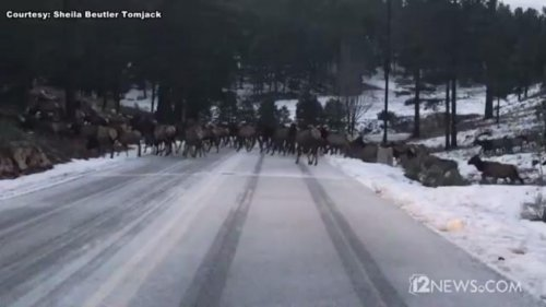 Massive-elk-herd-blocks-traffic-on-Arizona-mountain-road