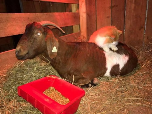 'Midwife'-cat-refuses-to-leave-pregnant-goat's-side,-gives-massages