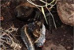 Tarantula eats snake in first documented case in nature