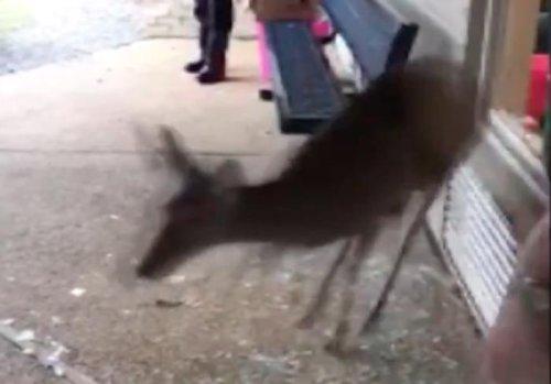 Deer-makes-surprise-visit-to-Mississippi-school