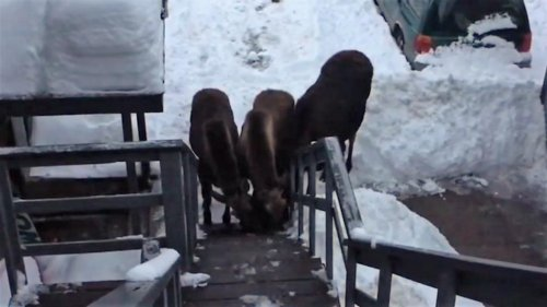 Moose-family-visits-Colorado-apartment-building-to-lick-salt-from-stairs