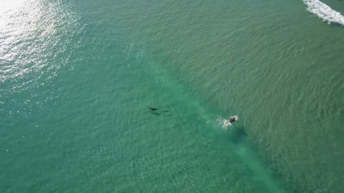 Watch: Sharks swim around surfers, paddle boarders off Fort Pierce Inlet