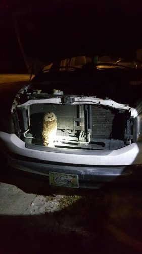 Watch: Owl released one month after grill rescue