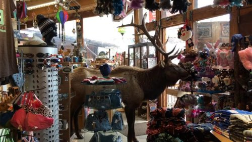 Watch: Police use apples to lure elk out of Colorado store