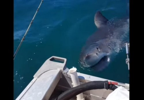 Watch: Fisherman stalked by great white shark near Auckland