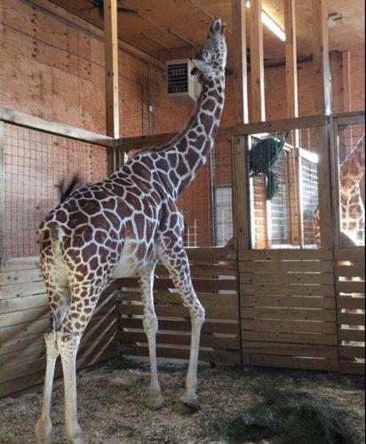No joke: April the giraffe still pregnant