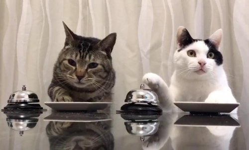 Watch: Hungry cats ring bells for treats
