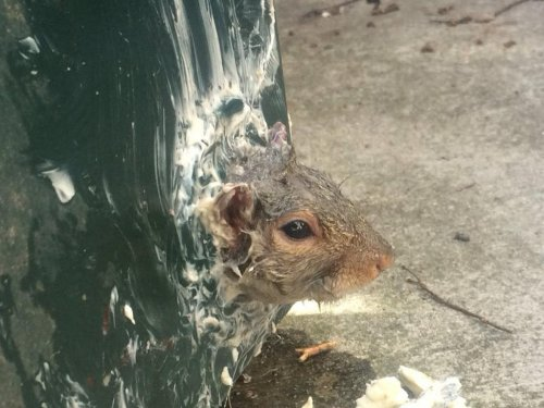 Look: 'Buttery and ashamed' squirrel trapped at bottom of dumpster