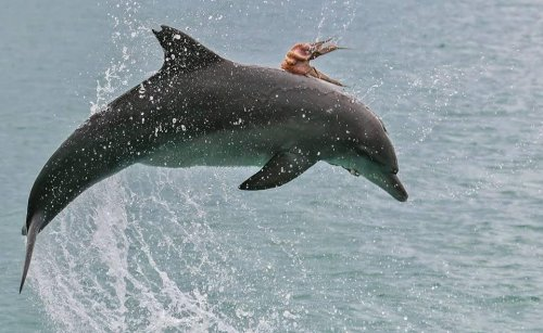 Octopus-hitches-ride-on-dolphin's-back-in-Australia