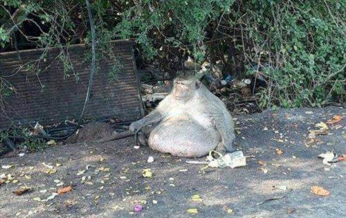 57-pound-monkey-'Uncle-Fatty'-put-on-strict-diet-in-Thailand