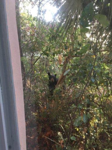 Look: Bear lured down from tree in Florida neighborhood