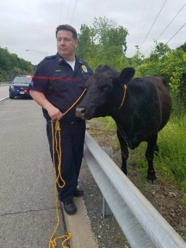 Look: New York police rope escaped cow running across local bridge