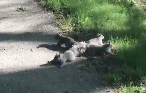 Man helped rescue four squirrels with tails tangled together in Maine