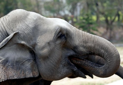 the killing of elephants The elephant sanctuary in tennessee is currently home to 13 elephants retired from zoos and circuses learn more about our elephant residents on our site.