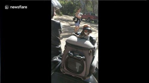 'World's-coolest-chihuahua'-rides-on-back-of-motorcycle