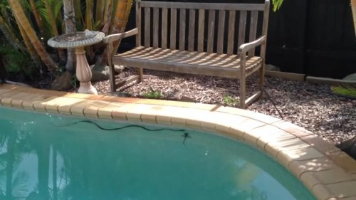 Snake-chases-water-dragon-lizard-in-Australian-family's-pool
