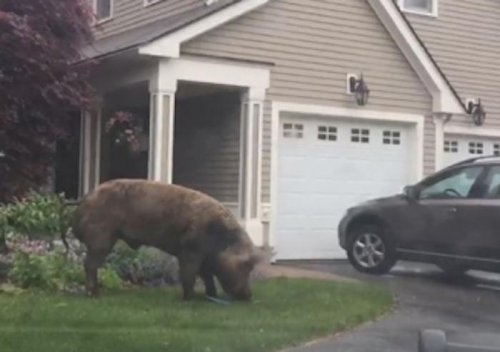 Police-capture-1,000-pound-escaped-pig