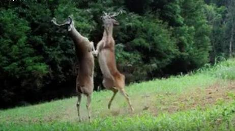 Watch: Deer box on hind legs on Tennessee trail footage