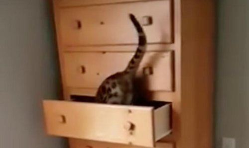 Watch: Clever cat shuts itself inside drawer
