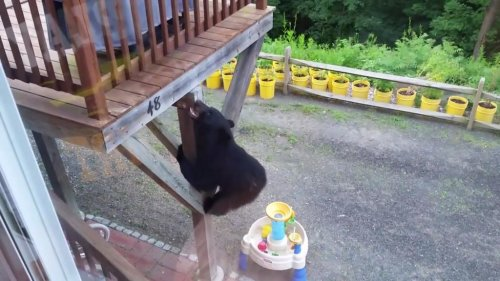 Bear-with-Parkour-skills-climbs-to-family's-second-floor-deck