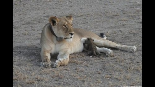 Lioness-photographed-in-Tanzania-nursing-leopard-cub-in-the-wild