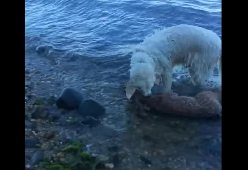 Dog-swims-into-the-Long-Island-Sound-to-rescue-baby-deer
