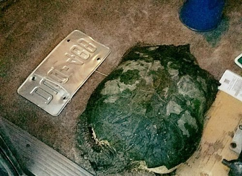 Stranded-snapping-turtle-rescued-from-middle-of-Colorado-road