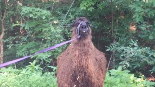 Missing-Connecticut-llama-reunited-with-owners