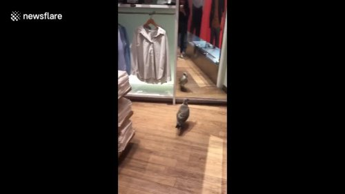 Sea-gull-wanders-into-London-store,-fights-with-mirror
