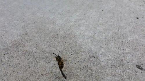 Wizard wasp flies off on improvised magic broom | Grand