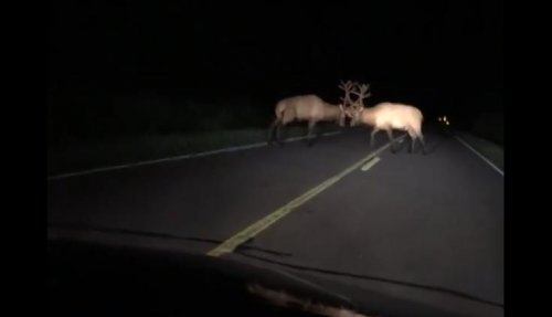 Elk-bulls-block-Wisconsin-highway-with-knock-down-brawl