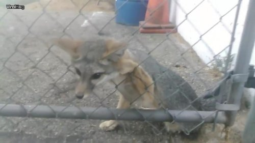 Co-workers-rescue-fox-stuck-in-chain-link-fence-in-California
