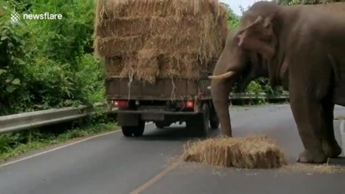Thieving-elephant-takes-bale-of-hay-from-back-of-truck