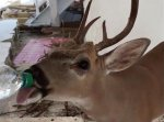 Permalink to Florida firefighter offers water to thirsty Key deer