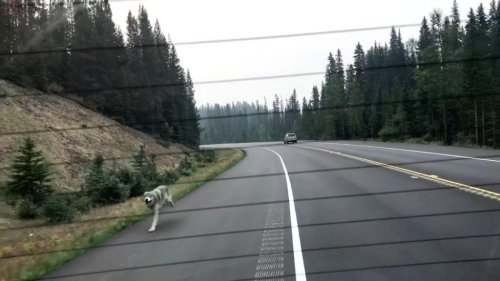Wolf-chases-car-for-over-a-mile-on-rural-British-Columbia-road