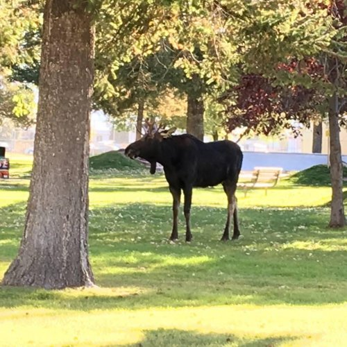 Loose-moose-tranquilized-and-relocated-from-Montana-park