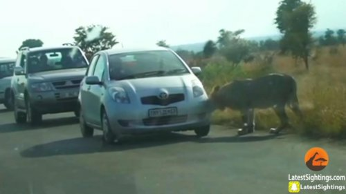 Lion's-bite-flattens-car's-front-tire-in-South-Africa