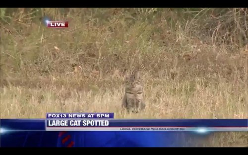 House-cat-interrupts-news-report-of-'large-cat'-loose-in-Mississippi