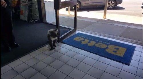 Koala-runs-into-appliance-store,-browses-TV-aisle