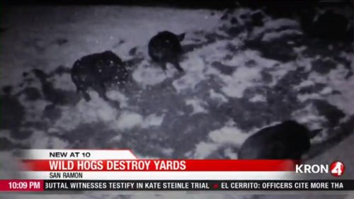 Wild-hogs-destroying-yards-and-gardens-in-California-town