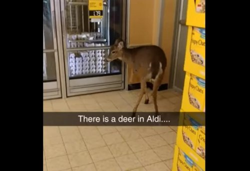 Calm-deer-browses-the-bargains-at-Pennsylvania-grocery-store
